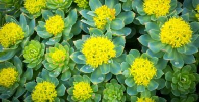 Rodhiola Rosae, remedio natural para la depresión